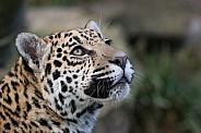 Young jaguar