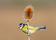 Blue tit and a Teasel