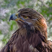 Golden Eagle - Portrait