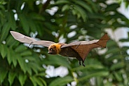Fruit Bat in Flight