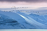 Flock of Geese - Liefdefjord - Svalbard Islands