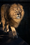 Asiatic lion