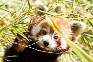Red Panda Hiding In Bamboo Paw Up