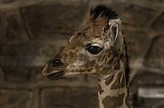 Rothchild's Giraffe Calf Close Up Head Shot