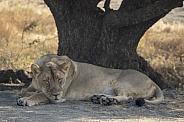 Asiatic Lion female from Gir Sanctuary and National Park, Sasan, Gujarat, India