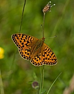 Dark GreenFritillary
