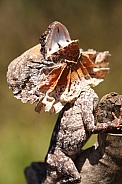 Baby Frilled-Neck Lizard