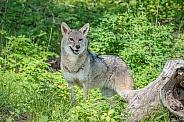 Coyote - Adult Female