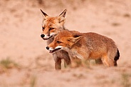 Mother Red fox with young