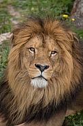 African Lion(Panthera Leo)