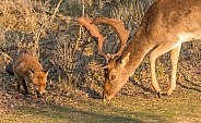 Red fox with Deer