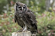 Milky Eagle Owl Full Body On Stump