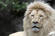 Afr. White Lion