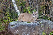 Mountain Lion (Female)