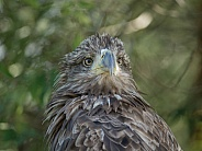 Young White-tailed Eagle