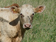Calf With Earring