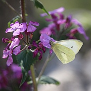 Pale Yellow Butterfly