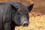 Pig Close Up Face Shot