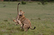 Lion cubs play fighting 1