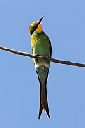 Swallowtailed Bee-Eater