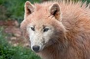 Arctic Wolf Close Up