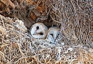 Immature Barn Owls