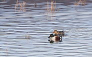 Northern Shoveler Duck Pair