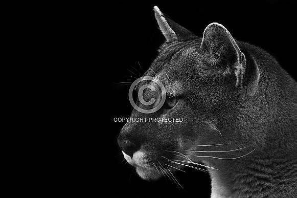 Puma Side Profile Close Up Black And White