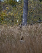 Sika Stag hiding in grass