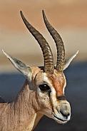 Arabian Gazelle in Al Ain. UAE.
