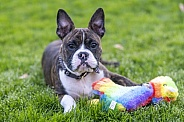 Mix breed puppy in the grass with a toy