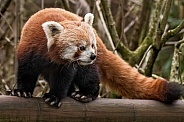 Red Panda Full Body Shot