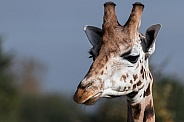 Giraffe Close Up, Sky background