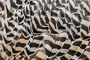 Gyrfalcon Feathers