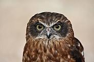 Cuckoo Owl