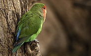 Love Bird Perched On Tree