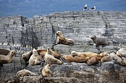 Colony of Antarctic Fur Seals - Tierra del Fuego - Argentina