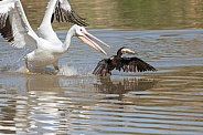 White pelican stealing a fish from a cormorant