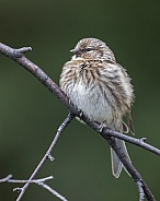 Juvenile Common Redpoll
