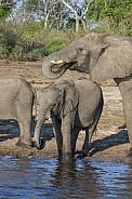 African Elephants drinking at the Chobe River - Botswana