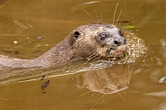 Giant Otter Swimming Head Out Of Water Side Profile