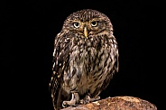 Little Owl Full Body Looking At Camera Black Background