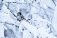 Boreal Chickadee in Winter