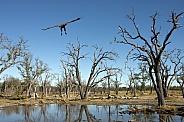 Lappetfaced Vulture - Okavango Delta - Botswana