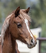 Head shot of a young Arabian Foal