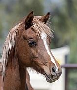 Head shot of a young Arabian Foal