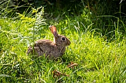 Rabbit sitting in grass