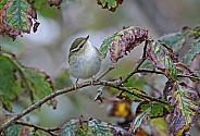 Yellow browed Warbler