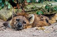 Hyena Laying Down