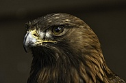 Golden Eagle Close Up Looking Left
